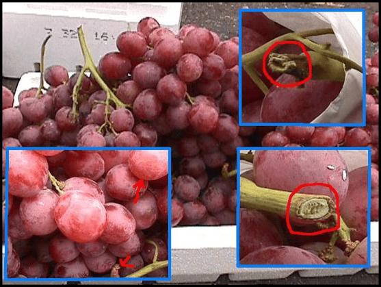 refrigeración uvas